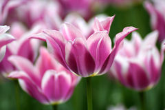 Pink Tulips Close Up Stock Photo