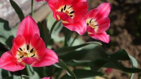 Pink tulips close up. cute pink tulips. spring pink flowers.  stock footage