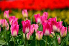 Pink tulips close up in Holland , spring time flowers in Keukenhof. Beauty royalty free stock photo