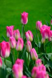 Pink tulips close up in Holland , spring time flowers in Keukenhof. Beauty royalty free stock image