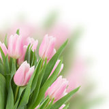 Pink   tulips close up Royalty Free Stock Photo