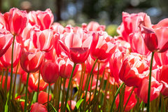 Pink tulips closer Stock Photos