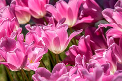 Pink tulips closeup Stock Photo