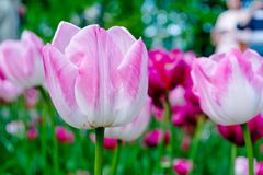 Tulip flowers in spring background or pattern Royalty Free Stock Photos
