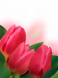 Pink tulips with copyspace on white background. Stock Image