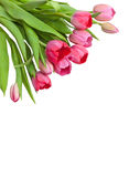 Pink tulips on the corner in white Royalty Free Stock Photography