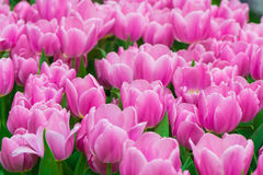 Pink tulips. Countless Purple tulips Slowly open, likable stock photography