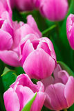 Pink tulips. Countless Purple tulips Slowly open, likable stock photo