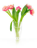 Pink tulips. Stock Image