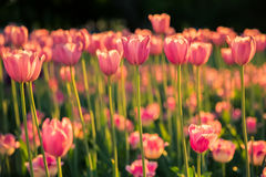 The pink tulips on dark background in the sunlight. Royalty Free Stock Image