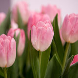 Pink tulips. Delicate bouquet of pink tulips stock image