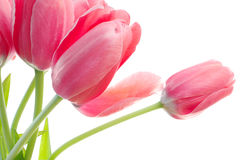 Pink tulips detail Stock Image