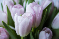 Pink tulips. Divinely beautiful and gentle royalty free stock photo