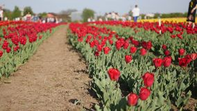 Pink tulips in a field stock footage
