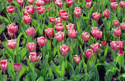 Pink tulips field Royalty Free Stock Photos
