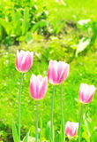 Pink tulips in field Royalty Free Stock Photo