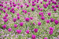 Pink tulips field Stock Photos