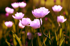 Pink Tulips. On field background Stock Photo