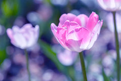 Pink Tulips. On field background Royalty Free Stock Image