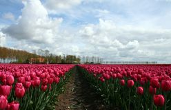 Pink tulip in field closeup royalty free stock photos