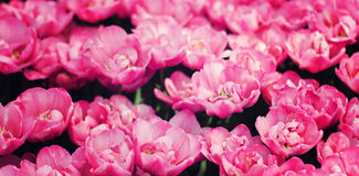 Pink tulips field Stock Photography
