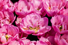 Pink tulips field Royalty Free Stock Photography
