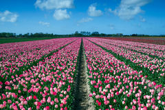 Pink Tulips Field Royalty Free Stock Images