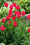 Pink tulips. Field of red tulips at the time of flowering Stock Photos