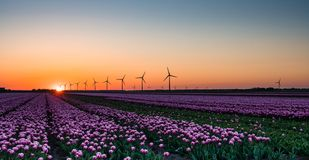 Pink tulips in field at sunrise Royalty Free Stock Photo