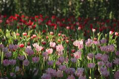Pink Tulips field. And sunshine in winter season Stock Photos