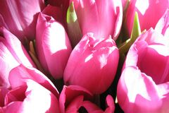 Pink Tulips Flower Royalty Free Stock Photos