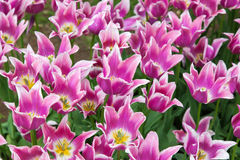 Pink tulips flower bed Royalty Free Stock Image