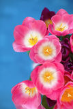 Pink tulips flower  on blue background. A greetings card Stock Image