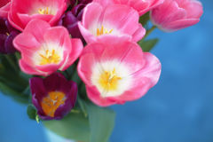 Pink tulips flower  on blue background. A greetings card Royalty Free Stock Photos