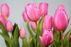 Pink tulips, mother's day. Pink tulips, flower bouquet with gray background Royalty Free Stock Photo