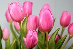 Pink tulips, mother's day. Pink tulips, flower bouquet with gray background Royalty Free Stock Photos