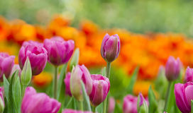Pink tulips flower field Royalty Free Stock Image