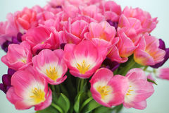 Pink tulips flower  on white background. a greetings car Stock Images