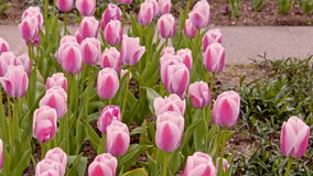 Pink tulips on the flowerbed.  stock video footage