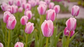Pink tulips on the flowerbed.  stock footage