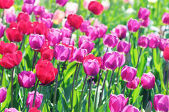 Pink tulips in flowerbed Stock Images