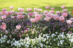 Pink tulips on the flowerbed among pansies Royalty Free Stock Photography
