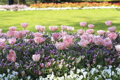 Pink tulips on the flowerbed among pansies Royalty Free Stock Image