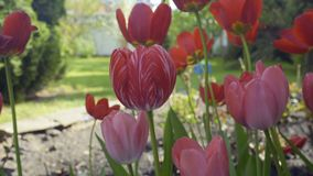 Pink tulips on flowerbed. Moving from wind. Beautiful summer flowers. Close-up stock video
