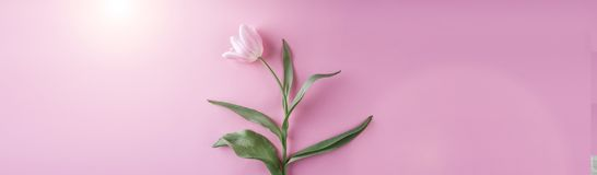 Pink tulips flowers on pink background. Waiting for spring. Greeting card or wedding invitation. Flat lay, top view, copy space royalty free stock photo