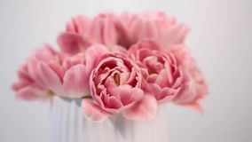 Pink tulips flowers in bloom isolated on blurred action stock footage