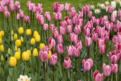 Pink tulips flowers blooming in a garden. Stock Photo