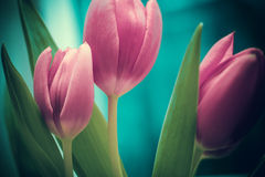 Tulips. Pink tulips flowers close up Stock Image