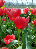 Pink tulips. Flowers on display in the greenhouses at Elizabeth park in Hartford, CT Royalty Free Stock Photos