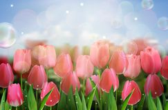 Pink tulips flowers in the garden. Illustration of Pink tulips flowers in the garden Stock Image